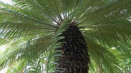Cycas revoluta palm (cycas revoluta) Live Action