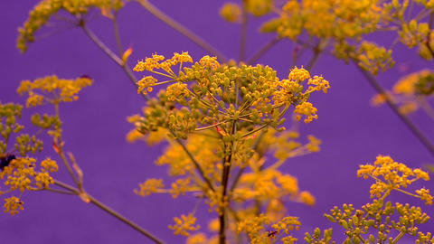 Inflorescence of a yellow flower dill against a blue background 영상물