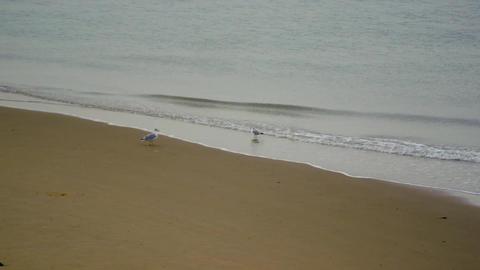 Beach seagulls waddling gulls Footage