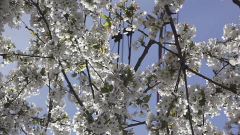 Tree blossom flowering tree twigs Footage