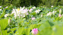 Many blooming pink bright lotus flowers in pond with bokeh background swaying Footage