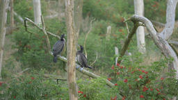 Two young cormorants in cormorant reserve/sanctuary. Katy Rybackie, Poland Footage
