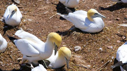 White Gannet birds pair nesting on Bonaventure Island, Quebec, Canada Footage