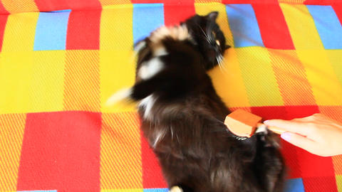 Mistress combing her cat. Taking care of domestic pet Live Action