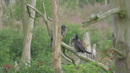 Two adolescent cormorants are fighting on a branch Live Action