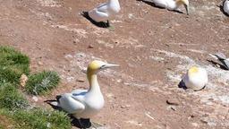White Gannet birds colony with one bird taking off on Bonaventure Island Footage