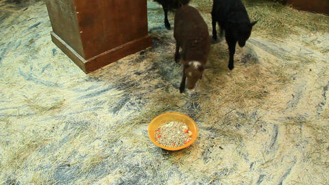 Family of sheep at zoo Footage