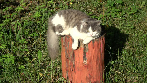 Domestic cat resting and wagging tail on old decorative tree trunk Live Action