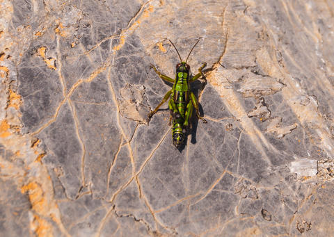 Grasshopper monkey grasshopper sitting on a gray stone Photo
