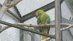 The military macaw. Ara militaris. Parrot. Wild animals in captivity Live Action