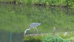The grey heron. Ardea cinerea. Bird Live Action