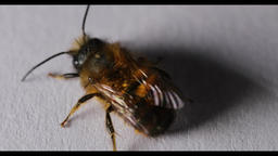 Honey bee on the wall Footage