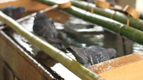 Nezu shrine Pigeon drinking water on Chozuya close shot shallow focus in Tokyo ビデオ