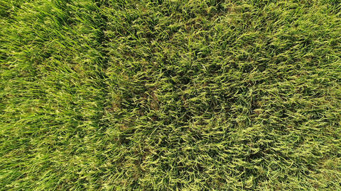 Green rice fields, top view Archivo