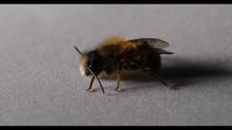 Varroa destructor on bee Footage