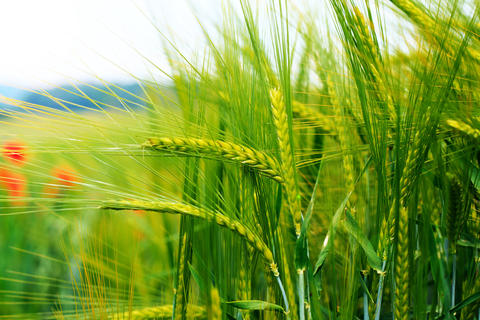 Lush green ears of wheat farmland in the early morning フォト