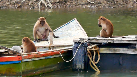 Wildlife Video The family of monkeys sit in a boat park at the mangrove Forest 영상물