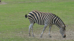 Zebra on pasture. Equus burchelli chapmanni Footage