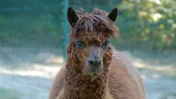An alpaca (Vicugna pacos) portrait 1 Footage