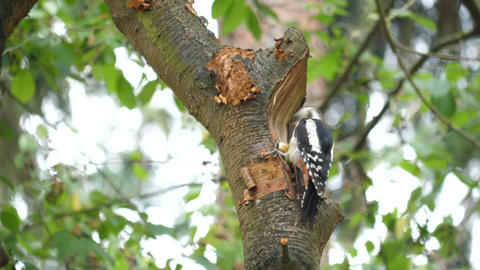 Woodpecker eats a hazelnut in tree GIF