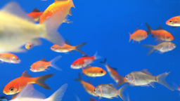 Looping Goldfish in a Blue Fish Tank Footage