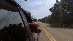Dog Sticks Head Out Moving Car Window Footage