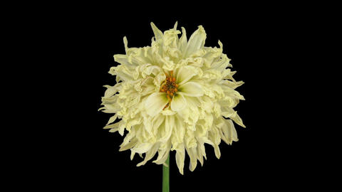 Time-lapse of dying white dahlia in RGB + ALPHA matte format GIF