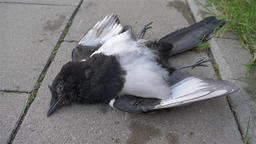 Dead eurasian magpie or common magpie (Pica pica) in a city Footage