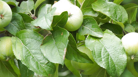 Apples on the branches of Apple trees in garden Footage
