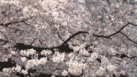 Cherry Blossom medium shot standard focus at Kanda river Live Action