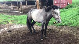Mongolian Horse Live Action