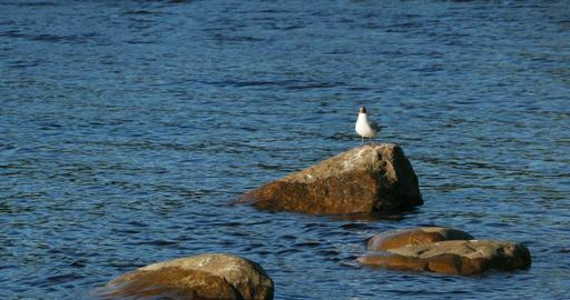 Blackhead gull stand Footage