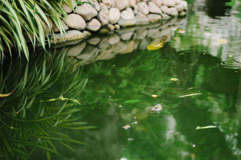 Turtle in Green Water at Thai Temple Fotografía