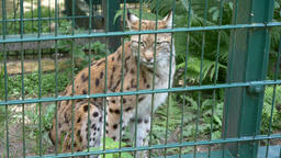 Lynx in a cage at zoo. Wild animals in captivity Live Action