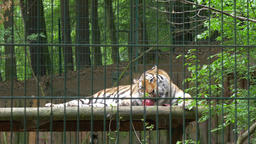 The Siberian tiger eats raw meat. Wild animals in... Stock Video Footage