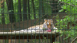The Siberian tiger eats raw meat. Wild animals in captivity 1 Footage