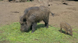 The wild boars are eating, Sus scrofa Live Action