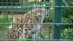 Lynx in a cage at zoo. Wild animals in captivity Footage