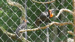 The southern ground hornbill. Bucorvus leadbeateri. Wild animals in captivity Footage