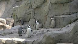 Humboldt penguins flock, spheniscus humboldti Footage