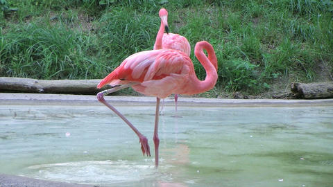 Flamingo Grooming Stock Video Footage
