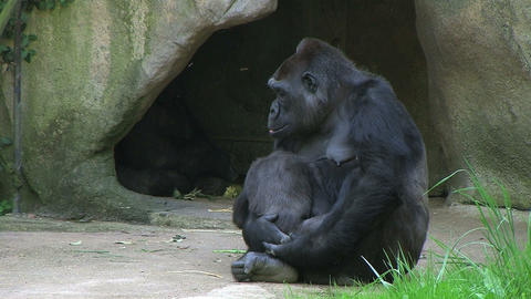Gorilla Holding Baby Stock Video Footage