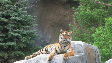 Tigers Rests on Rock Stock Video Footage