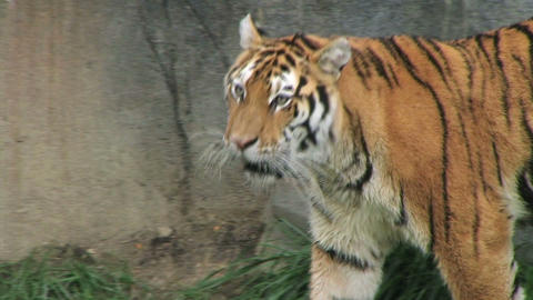 Tiger Walking and Watching Stock Video Footage
