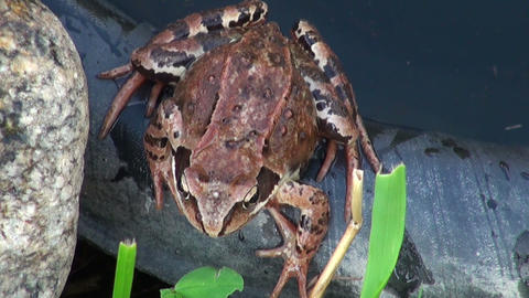 The frog in the water Stock Video Footage