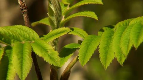 green leaf rowan Stock Video Footage