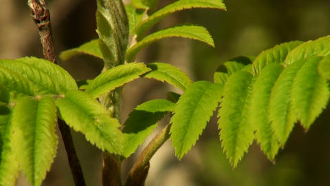green leaf rowan Stock Video Footage