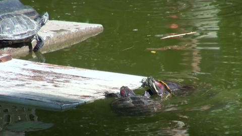 Turtles In The Water stock footage
