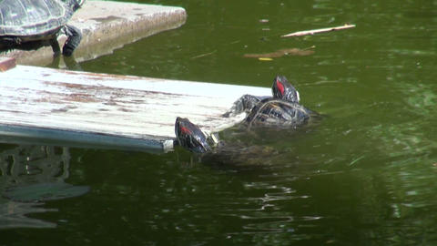 Turtles in the water Stock Video Footage
