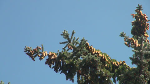 a lump on the branch of a pine Footage